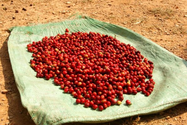 kingdom bean coffee cherries